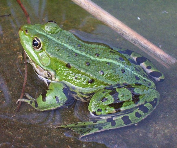 La grenouille verte 